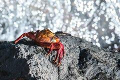 Sally Lightfoot Crab de Galápagos imagem de stock royalty free