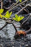 Sally Lightfoot Crab de Galápagos foto de stock