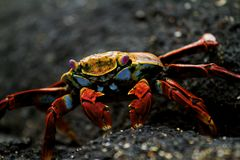 Sally Lightfoot Crab em rochas fotos de stock royalty free
