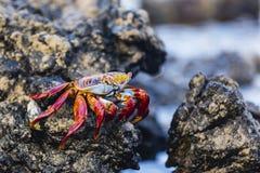 Sally Lightfoot Crab em uma rocha imagem de stock