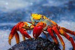 Sally Lightfoot Crab en una roca de la lava, las Islas Galápagos Imagenes de archivo