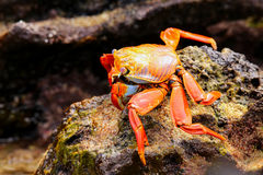 Sally lightfoot crab feeding on Chinese Hat island, Galapagos Na Royalty Free Stock Photos