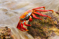 Sally lightfoot crab feeding on Chinese Hat island, Galapagos Na Stock Photo