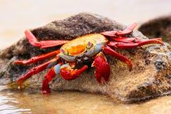 Sally lightfoot crab feeding on Chinese Hat island, Galapagos Na. Sally lightfoot crab (Grapsus grapsus) feeding on Chinese Hat island, Galapagos National Park Royalty Free Stock Image