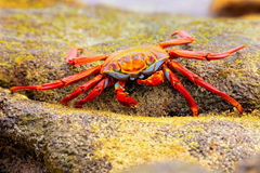 Sally lightfoot crab feeding on Chinese Hat island, Galapagos Na Royalty Free Stock Images