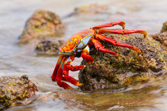 Sally lightfoot crab feeding on Chinese Hat island, Galapagos Na Stock Photography