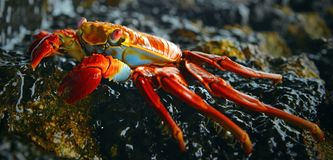 Sally Lightfoot Crab Galapagos öar, Ecuador arkivbild