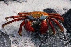 Sally lightfoot crab, Galapagos. Sally lightfoot crab (Grapsus grapsus), Punta Suárez, Española, Galapagos Islands Stock Image
