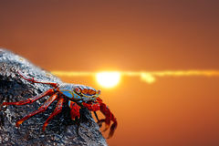 Sally lightfoot crab on Galapagos Royalty Free Stock Photos