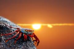 Sally lightfoot crab on Galapagos. Close up of a Sally lightfoot crab in the sunset Royalty Free Stock Photos