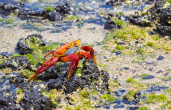 Sally Lightfoot Crab in the Galapagos Stock Images