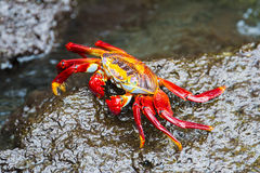 Sally Lightfoot Crab in Galapagos island Royalty Free Stock Photo