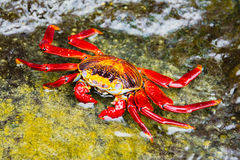 Sally Lightfoot Crab in Galapagos island Stock Images
