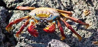 Sally Lightfoot crab. On Galapagos Islands Royalty Free Stock Photos