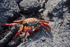 Sally Lightfoot. Crab on Galapagos Islands Stock Photos