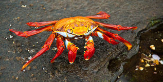 Sally Lightfoot crab. On Galapagos Islands Royalty Free Stock Photography