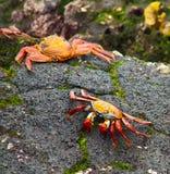 Sally Lightfoot crab. On Galapagos Islands Stock Image