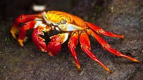 Sally Lightfoot crab. On Galapagos Islands Royalty Free Stock Image