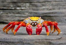 Sally Lightfoot crab. On Galapagos Islands Royalty Free Stock Photo