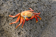 Sally Lightfoot Crab, Galapagos Islands. Sally Lightfoot Crab contrasted against volcanic rock, Galapagos Islands Royalty Free Stock Photo