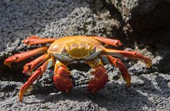 Sally Lightfoot Crab on rock. Sally Lightfoot crab on Galapagos Islands Royalty Free Stock Images