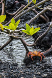 Sally Lightfoot Crab from Galapagos Stock Photo