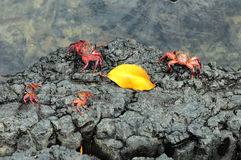Sally Lightfoot Crab from Galapagos Stock Photography