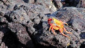 Sally lightfoot crab (Grapsus grapsus) feeding on Chinese Hat island, Galapagos National Park, Ecuador stock video