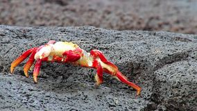 Sally lightfoot crab (Grapsus grapsus) molting on Chinese Hat island, Galapagos National Park, Ecuador stock video footage