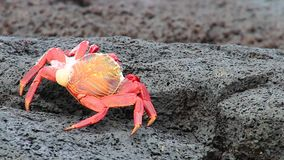 Sally lightfoot crab (Grapsus grapsus) molting on Chinese Hat island, Galapagos National Park, Ecuador stock footage