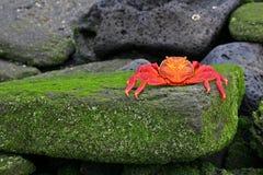 Sally Lightfoot Crab (Graspus Graspus). Sally Lightfoot Crab, or Graspus Graspus, on a mossy rock in the Galapagos Islands Stock Photography