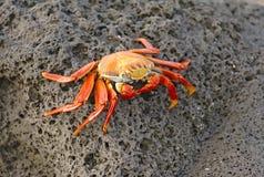Sally Lightfoot Crab, isole Galapagos Fotografia Stock Libera da Diritti