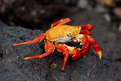 Sally Lightfoot Crab on lava on Galapagos Stock Images