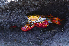A Sally Lightfoot Crab on lava rock Stock Image