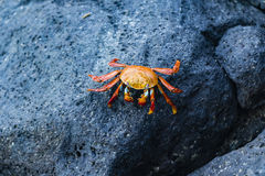 A Sally Lightfoot Crab on lava rock Royalty Free Stock Photography