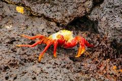 Free Sally Lightfoot Crab Molting On Chinese Hat Island, Galapagos Na Royalty Free Stock Photos - 68301238