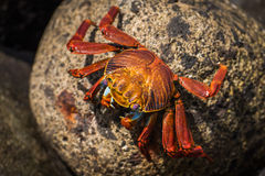 Sally Lightfoot crab on mottled brown rock Stock Photo