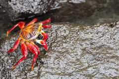 Sally Lightfoot Crab na ilha de Galápagos Imagem de Stock Royalty Free