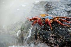Sally Lightfoot Crab na ressaca fotos de stock