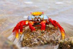 Free Sally Lightfoot Crab On Chinese Hat Island, Galapagos National P Royalty Free Stock Image - 67331536