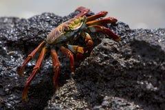 Sally Lightfoot Crab ou crabe de roche rouge, îles de Galapagos Photos libres de droits