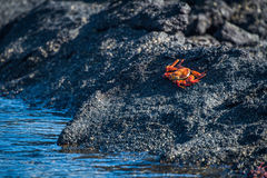Sally Lightfoot crab perched beside rock pool Royalty Free Stock Photo