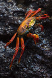 Sally Lightfoot Crab or Red Rock Crab, Galapagos Islands Royalty Free Stock Photography