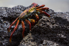 Sally Lightfoot Crab or Red Rock Crab, Galapagos Islands Royalty Free Stock Photos