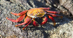 Sally Lightfoot Crab  on Rock Stock Photos