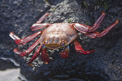 Sally Lightfoot Crab  on Rock Stock Photography