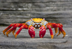 Sally Lightfoot Crab  on Rock Royalty Free Stock Photos