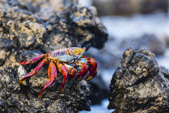 Sally Lightfoot Crab on a rock Stock Image