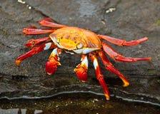 Sally Lightfoot Crab on rock. Sally Lightfoot crab on Galapagos Islands Stock Image