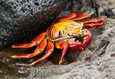 Sally Lightfoot Crab  on Rock. Sally Lightfoot crab on Galapagos Islands Stock Photo